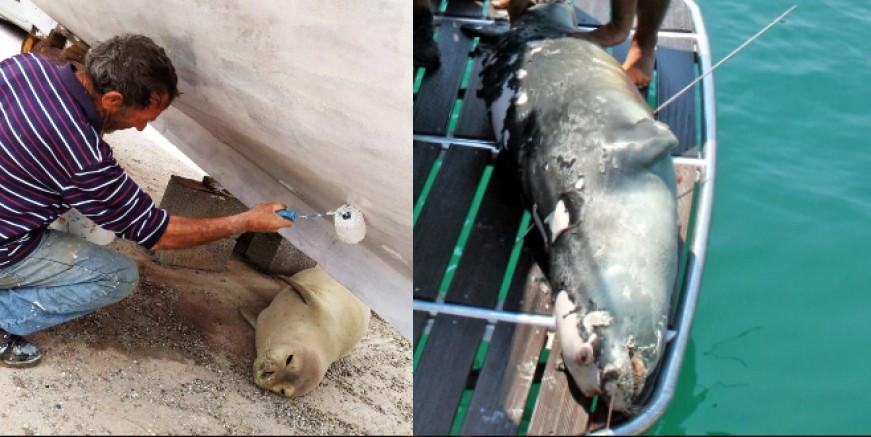 Akdeniz fokunu zıpkınla öldürdüler