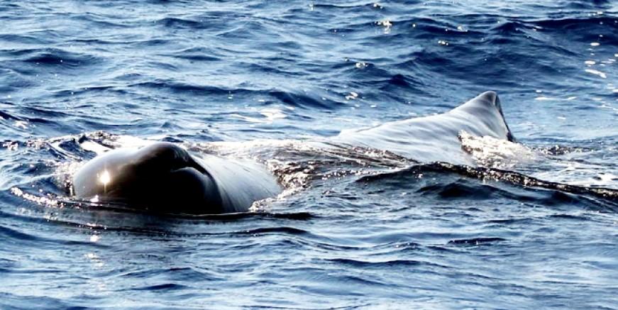 Ege Denizi'nde ilk kez görüldü , 16 metre 40 ton ağırlığında
