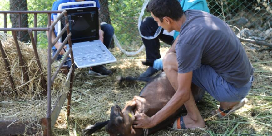 Kıl Keçilerine Ultrasonlu Sağlık Kontrolü