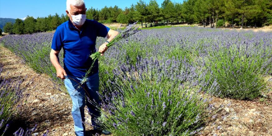 Muğla'da lavanta hasadı başladı | Haberler > GÜNDEM