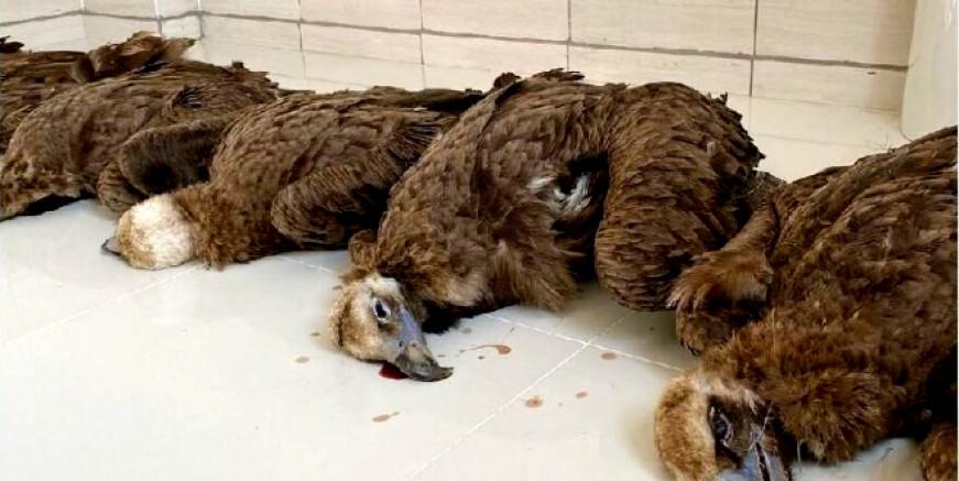 Nesli tehlike altındaki 7 kara akbabayı zehirleyerek öldürdüler