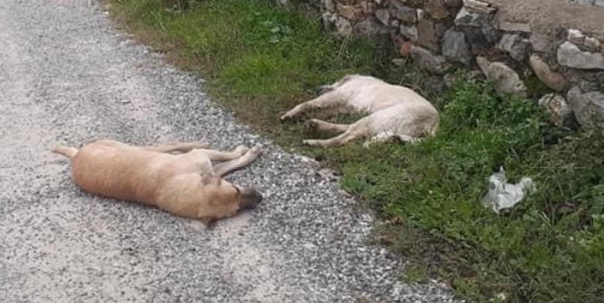 Sokak hayvanlarını zehirlediler