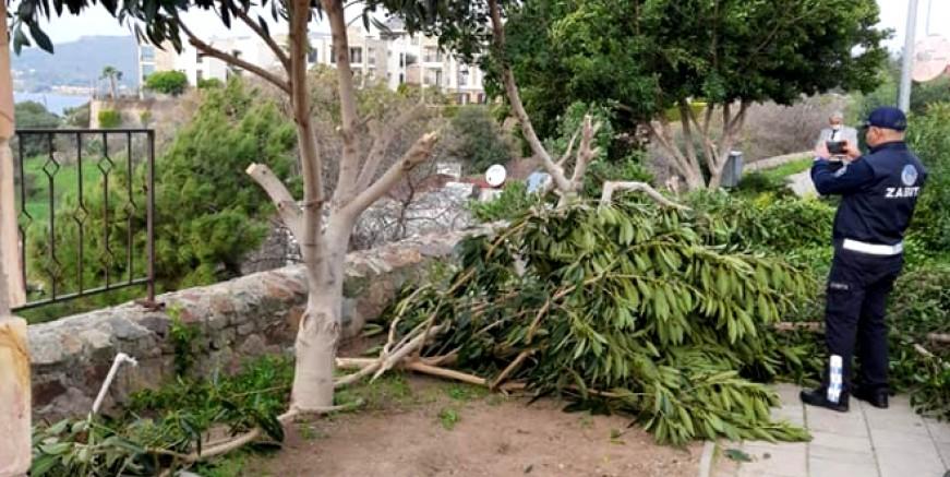 Vandallar bu kez Yalıkavak'ta ağaçları katlettiler